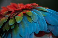 Green-winged macaw Ara chloropterus. Also known as the red-and-green macaw. Plumage texture Stock Photos