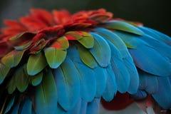 Green-winged macaw Ara chloropterus Stock Photos