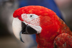 Green-winged macaw (Ara chloropterus). Also known as the red-and-green macaw. Wildlife animal Royalty Free Stock Images