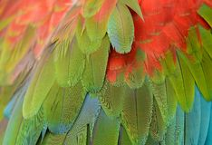 Green-winged Macaw (Ara chloropterus) Stock Image