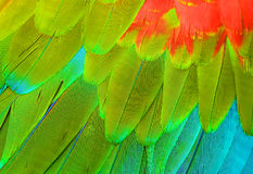 Green-winged Macaw (Ara chloropterus) Stock Photos