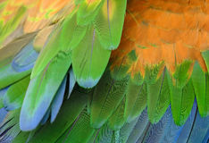 Green-winged Macaw (Ara chloropterus) Royalty Free Stock Photos