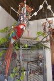 Green-winged Macaw, Ara chloropterus Royalty Free Stock Photography