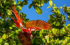 Ara. Green-winged Macaw Ara in the wild, Costa Rica, Central America Royalty Free Stock Images