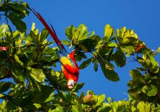 Ara. Green-winged Macaw Ara in the wild, Costa Rica, Central America Royalty Free Stock Photo