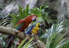 Green-winged Macaw, Blue and Gold Macaw sitting on a branch royalty free stock photography