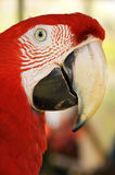 Green-winged Macaw. A Close up Green-winged Macaw face stock photo