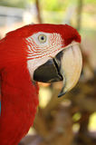 Green-winged Macaw. A Close up Green-winged Macaw face royalty free stock image