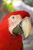 Green-winged Macaw. A Close up Green-winged Macaw face royalty free stock photo