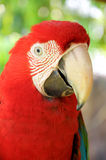 Green-winged Macaw. A Close up Green-winged Macaw face royalty free stock images
