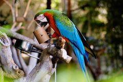 Free Green-winged Macaw Outdoors Royalty Free Stock Image - 160527586