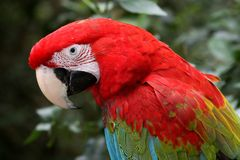 Green-Winged Macaw Parrot Royalty Free Stock Photos