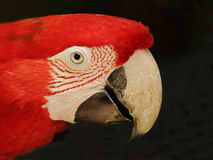Green winged Macaw (parrot). This is an endangered species Royalty Free Stock Image