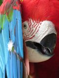 Green winged Macaw playing peek a boo Royalty Free Stock Images