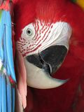 Green winged Macaw playing peek a boo Stock Images