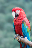 Green-Winged Macaw Stock Photography