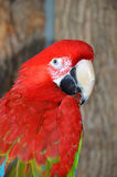 Green Winged Macaw profile showing red head Royalty Free Stock Photos