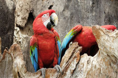 Green-winged macaw standing on the wood Stock Image