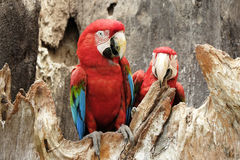 Green-winged macaw standing on the wood Royalty Free Stock Image