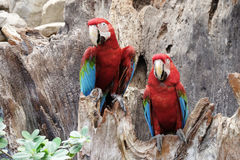 Green-winged macaw standing on the wood Royalty Free Stock Photography