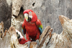 Green-winged macaw standing on the wood Stock Photo