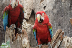 Green-winged macaw standing on the wood Royalty Free Stock Photos