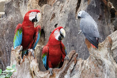 Green-winged macaw standing on the wood Stock Photos