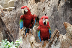 Green-winged macaw standing on the wood Royalty Free Stock Images