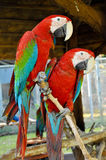 Green-winged Macaw. On tree branches within the exhibit royalty free stock photos