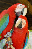 Green-winged Macaw. On tree branches within the exhibit stock photography