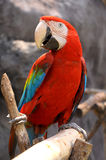 Green-winged Macaw. On tree branches within the exhibit stock image