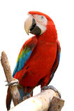 Green-winged Macaw. On tree branches isolate on white background royalty free stock photography