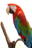 Green-winged Macaw. On tree branches isolate on white background royalty free stock photos