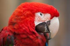 Green-winged macaw (Ara chloropterus) Stock Photos