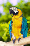 Green-winged macaw Stock Image