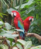 Green Winged Macaws (Ara chloropterus) Stock Photography