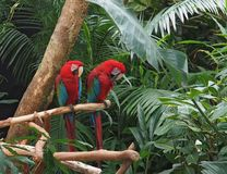 Green Winged Macaws (Ara chloropterus) Royalty Free Stock Photos