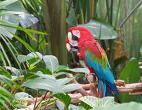 Green Winged Macaws (Ara chloropterus) Royalty Free Stock Images
