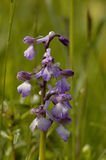 Green-winged Orchid Stock Photos