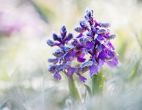 Green-Winged Orchid. Anacamptis morio - covered with frost in its natural habitat royalty free stock photo