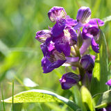 Green-winged orchid (Anacamptis morio) flower spike Stock Photos