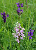 Green-winged Orchid Stock Photo