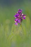 Green-winged Orchid, Anacamptis morio, Purple type, soft focus Stock Photos