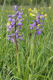 Green-winged Orchid Royalty Free Stock Photos