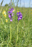 Green-winged Orchid Stock Image