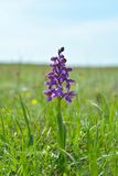 The Green-winged Orchid (Anacamptis morio) Royalty Free Stock Photo
