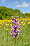 Green winged Orchid with Buttercups Royalty Free Stock Photography