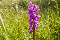 Green-winged orchid Royalty Free Stock Images