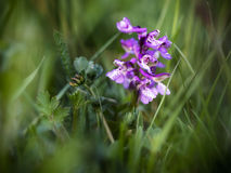 Green winged orchid Royalty Free Stock Images
