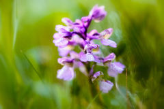 Green winged orchid Royalty Free Stock Photography
